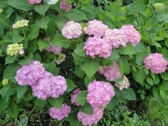 山桜の木陰に咲く西洋紫陽花