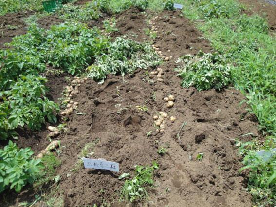 オーナ区画のジャガイモ