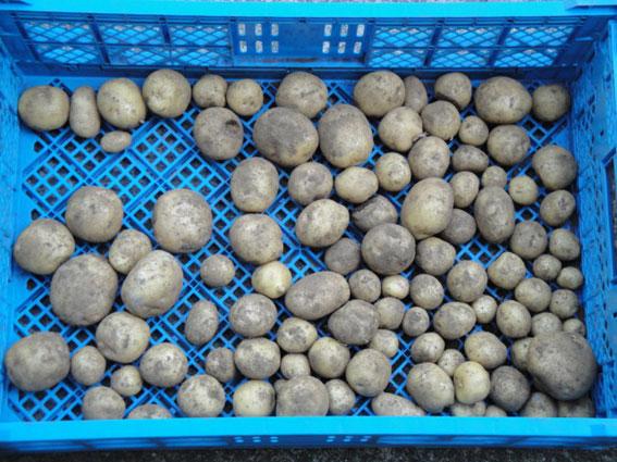 キタアカリ : 小粒で数量も少ない。