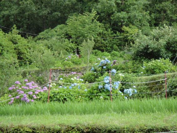 棚田に咲く紫陽花